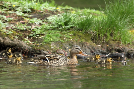 Duck family with duck chicks Stock Photo