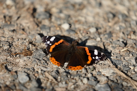nymphalidae: Butterfly Admiral