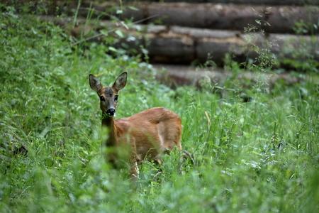 Herten in het bos Stockfoto