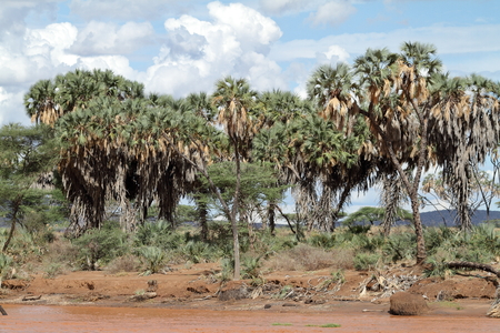 Palm trees on the banks of the Samburu River Stock Photo - 82117419