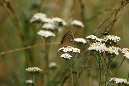 Brown forest bird butterfly on a meadow flower