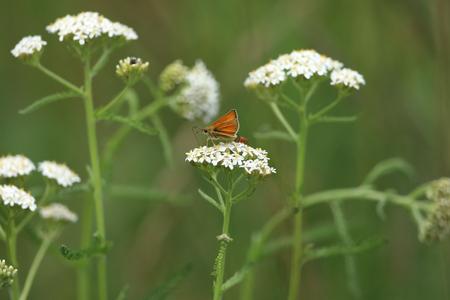 Gele ocher schipper vlinder Stockfoto - 84667286