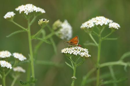 Gele ocher schipper vlinder Stockfoto - 84666204