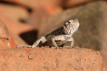Lizards and reptiles in Sri Lanka