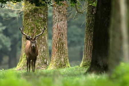 포리스트의 붉은 사슴과 틀에 박힌 채 사슴 스톡 콘텐츠
