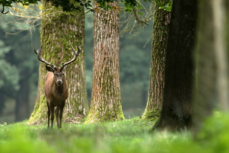 Red deer in the forest and during the rut Stock Photo