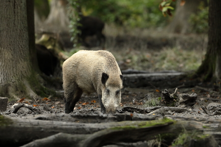 frock: Wild boars in the forest Stock Photo