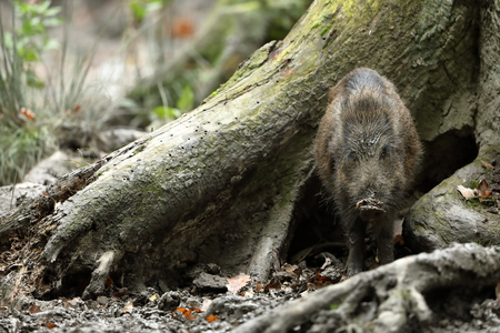 Wild boars in the forest Stock Photo