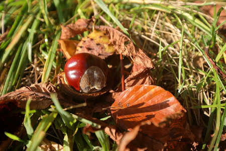 The Common Horse Chestnut in autumn Stock Photo