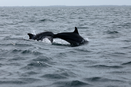 Dolphins at Trincomalee Sri Lanka in the Indian Ocean