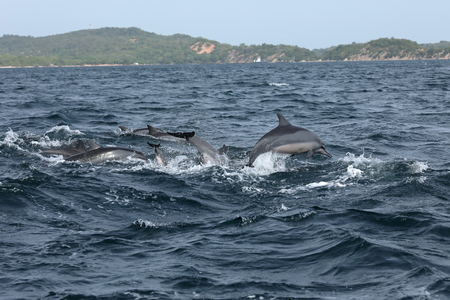 delphi: Dolphins at Trincomalee Sri Lanka in the Indian Ocean