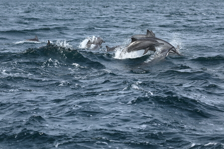 Dolphins at Trincomalee Sri Lanka in the Indian Ocean Stock Photo - 88453960