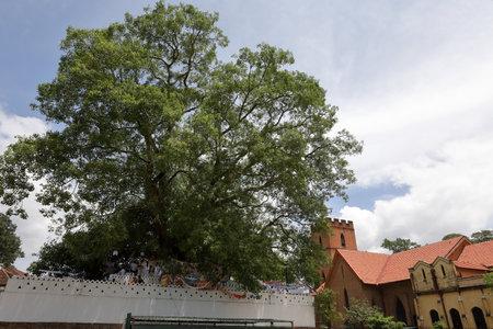 Buddhist Bodhi tree in Kandy Sri Lanka