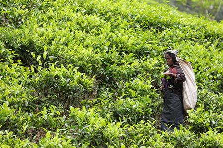 Tea production and tea pickers in Sri Lanka Stock Photo