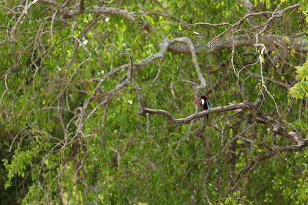 Kingfisher in the Yala National Park in Sri Lanka