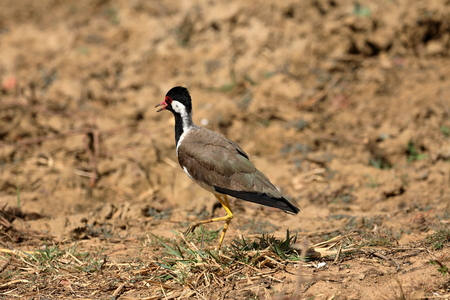 Plover or red-ragged lapwing in Yala National Park in Sri Lanka