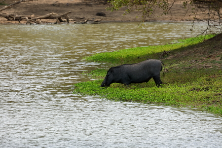 Wild boar in Yala National Park in Sri Lanka