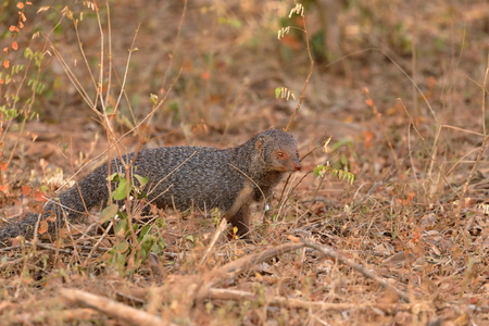 Indian Mongoose in Yala National Park in Sri Lanka