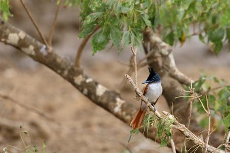Asian paradise flycatchers in Sri Lanka