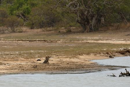 Jackal in Yala National Park in Sri Lanka Stock Photo