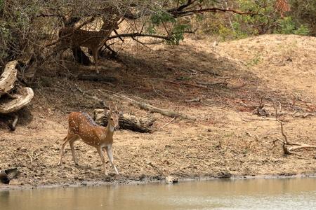 Axis deer in Yala National Park in Sri Lanka