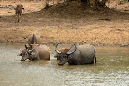 Water buffalo in Yala National Park in Sri Lanka