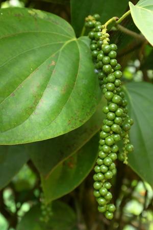 Black pepper plant in Sri Lanka Stock Photo