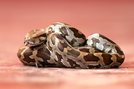 Baby Tiger Python in Sri Lanka Standard-Bild - 95187066