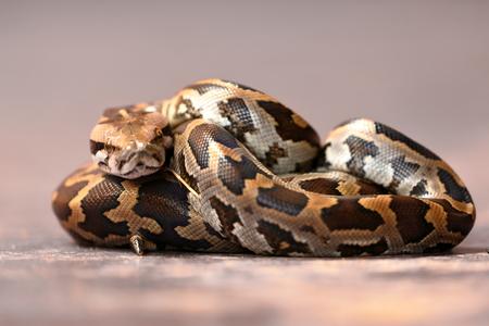 Baby Tiger python in Sri Lanka