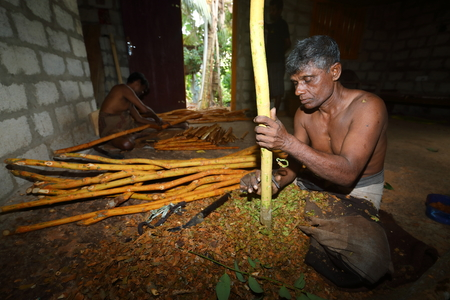 Cinnamon production in Sri Lanka Reklamní fotografie