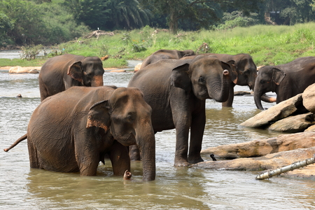 Asian elephants bathing in the river of Pinnawala in Sri Lanka