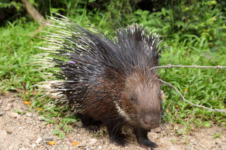 Porcupine in Sri Lanka Stock Photo