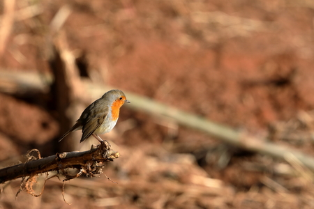 A robin in the spring