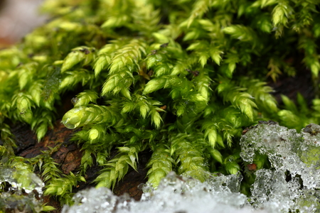 Forest moss with ice scraps in spring on the forest floor Reklamní fotografie