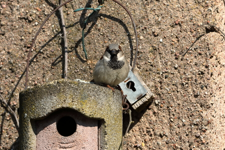 Sparrow on a nesting hole at the courtship