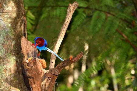 Sri Lanka Blue Magpie in Sinharaja Jungle