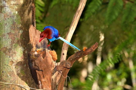 Sri Lanka Blue Magpie in Sinharaja Jungle