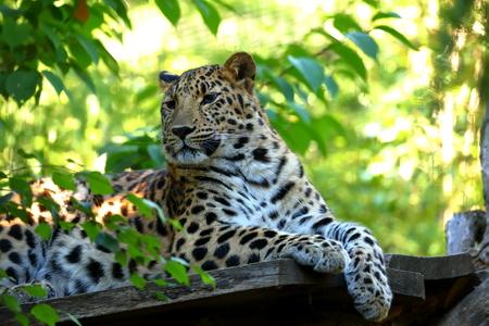 Leopard Panthera pardus resting Stock Photo