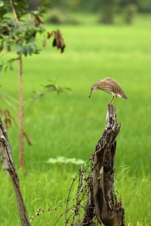Paddy Heron at a Rice Field Standard-Bild