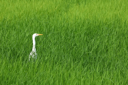 White heron in a rice field