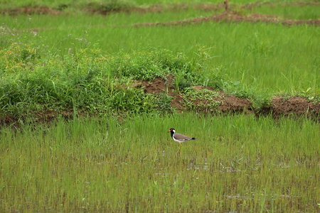 Plover or Red-wattled Lapwing