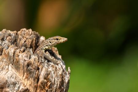 Lizard in a hollow tree trunk from Sri Lanka Banco de Imagens