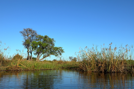 Papyrus in the swamps of Okavango in Namibia