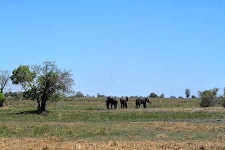 Elephants in the Okavango Delta in Botswana Banco de Imagens