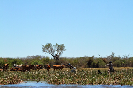 Cows and cattle in the Okavango Delta in Namibia