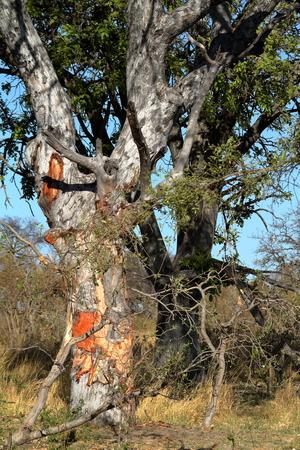 Landscape in the Okavango Delta in Botswana Banco de Imagens