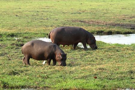 Hippos at Chobe National Park in Botswana