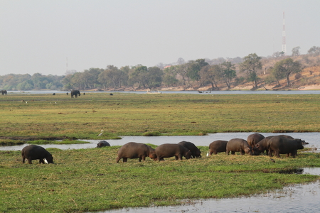 Hippos at Chobe National Park in Botswana