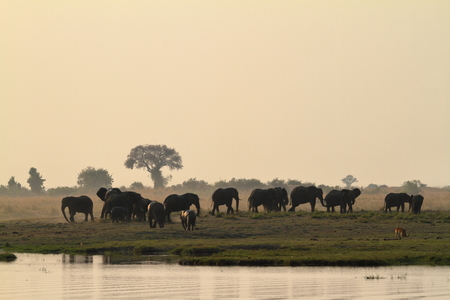 African elephants in the savannah