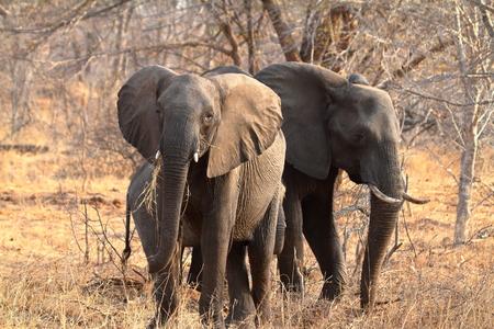 Elephants in the savannah of Zimbabwe Stock Photo